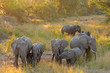 canvas print picture - Herd of African elephants (Loxodonta africana) in late afternoon light, Kruger National Park, South Africa.