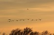 Flock of Canadian Geese at Sunset in Kansas with silhouettes.