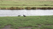 A Couple Of Black Birds Search...