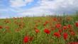 Poppy field on the Opal Coast, France