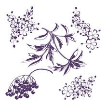 Silhouette Of Sambucus. Berries Black Elderberry, Branch With Leaves, Elder Flower Blossom.