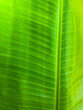 Leinwanddruck Bild - beautiful natural banana leaf background makes nice pattern in green colour,