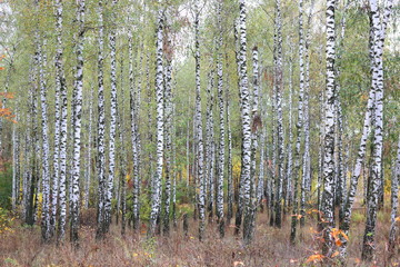 Fototapeta Brzoza beautiful scene with birches in autumn birch forest in october among other birches in birch grove