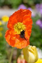 Macro Of Bumblebee (Bombus) On...