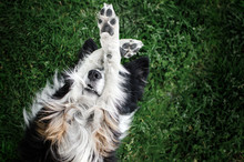 Border Collie Dog Relaxing On The Lawn At Home Funny Photo Cute Dog