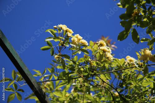 Fotografija Arbusto di rosa rampicante, in primavera, con fiori giallo pallido a mazzetti ap