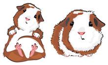 Pair Of Guinea Pigs