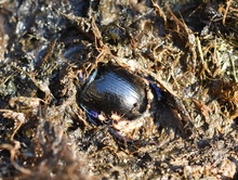 The Dung Beetle Anoplotrupes Stercorosus Digging Into Excrements