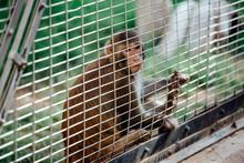 Sad Fluffy Monkey In A Cage Si...
