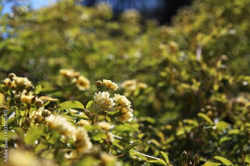 Slika na platnu Arbusto di rosa rampicante, in primavera, con fiori giallo pallido a mazzetti ap