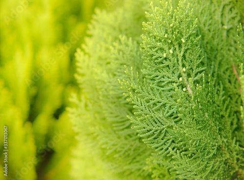 Canvastavla Japanese cypress (Chamaecyparis obtusa) or Hinoki Cypress branch, Sprigs of cypress close-up