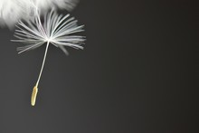 Falling Dandelion Seed Black Background