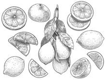 Sketch Lemon. Hand Drawn Slice...