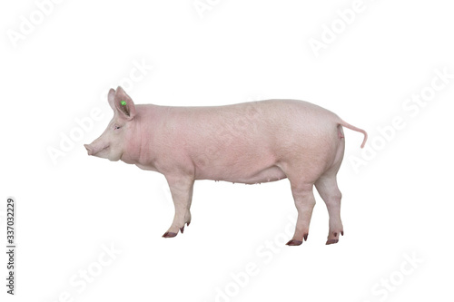 big pig vaccination isolated on white background Fotobehang