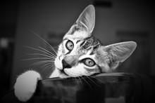 Ritratto Di Un Bel Gatto Che S...