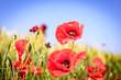 red poppy meadows