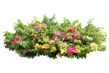 Large Bougainvillea Flowering Spreading Shrub . There Are  Red, Pink,white And  Purple Flower Isolated On White Background
