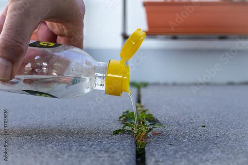 Photo Männerhand gießt Essig-Essenz auf Pflanze zur biologischen Bekämpfung von Unkrau