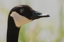 Close-up Of Canadian Goose Portrait, Within The Horicon National Wildlife Refuge, Waupun, Wisconsin