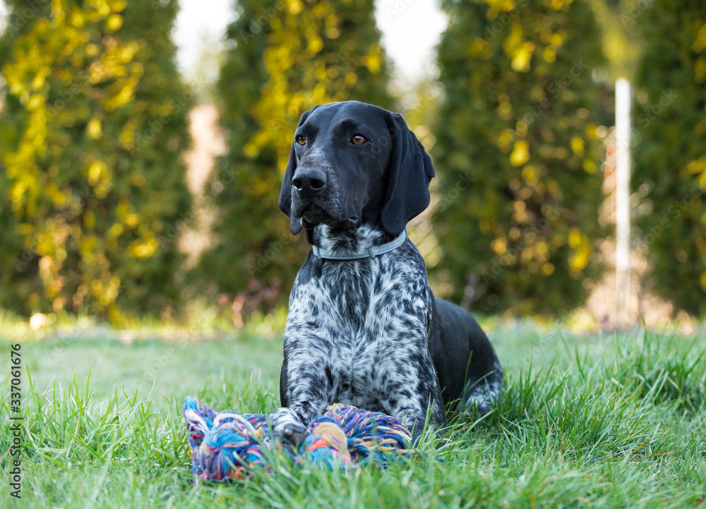 Fototapeta German Shorthaired Pointer lying in the garden next to his toy, a hunting dog waiting for a command from the master