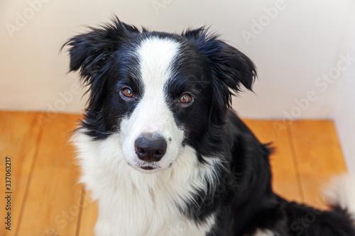 Stampa su Tela Funny portrait of cute smilling puppy dog border collie indoor