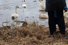 Woman And Child Near Marshy Area With Swans. Woman And Child Near The Water With Swans.