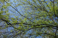 Beech Tree Branches With New G...