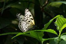 Paper Kite Butterfly On Tropical Leaf, Set Off By A Dark Background