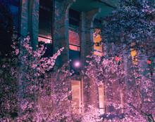 Night Building With Cherry Blo...