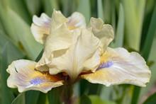 Yellow Bearded Blooming Iris Close-up