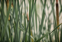 Reeds On The Lake . Swamp, Reeds, Water, Plant, Horsetail