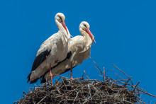Storks In A Nest Blue Sky