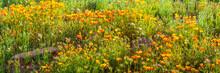 Panorama Of Orange California Poppies In Bloom
