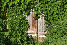 Wooden Door With Vintage Rusty Metal Lock, Green Leaves Of Wild Vine And Nettle