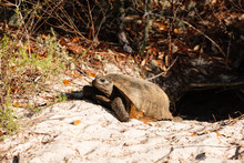 Gopher Tortoise Exiting Its Burrow  In Gulf State Park, Gulf Shores, Alabama