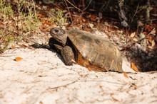 Gopher Tortoise Near Its Burrow  In Gulf State Park, Gulf Shores, Alabama