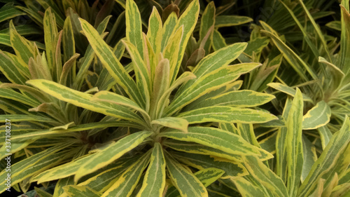 Euphorbia amygdaloides 'Ascot Rainbow' Wallpaper Mural