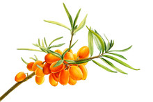 Sea-buckthorn Branch, Orange B...