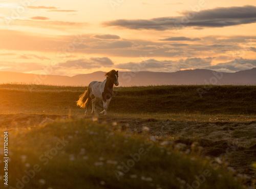 Photo icelandic horse running at sunset