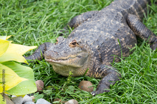 alligator in the grass Canvas Print