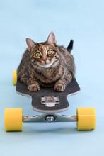 A Tabby Cat On A Skateboard.