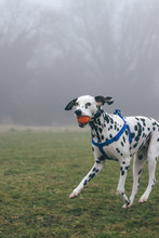 Dog Carrying Ball In Mouth While Running On Field During Foggy Weather