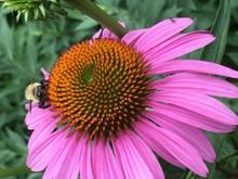 Close-up Of Bee On Purple Coneflower