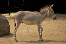 Somali Wild Ass (Equus African...
