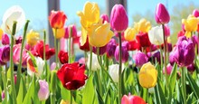 Close-up Of Tulips Blooming On...