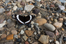White Admiral Butterly