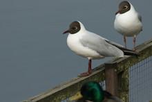Two Black-headed Gull, Chroico...
