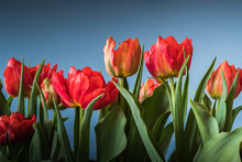 Close-up Of Red Tulips Blooming Against Sky