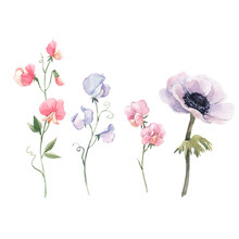 Beautiful Vector Watercolor Floral Set With Anemone And Sweet Pea Flowers. Stock Illustration.