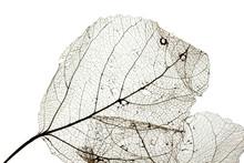 Macro Shot Of Leaf Vein Skeleton. Abstract Texture Background.